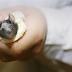 中国科学者の雄ネズミ妊娠実験が物議…遺伝的な「男性」も妊娠可能か?t