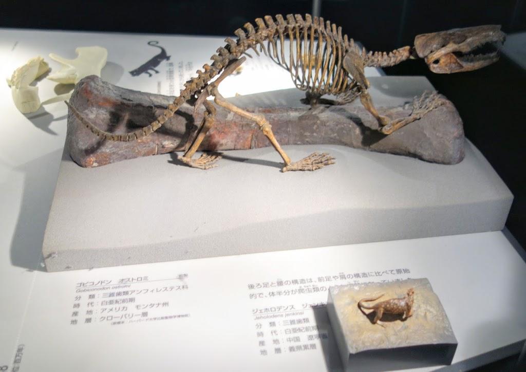 みむメモ まぁ~なんとかなるさ♪  福井県立恐竜博物館⑪ 新生代