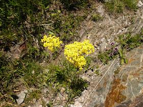 drave Draba lasiocarpa Brassicassees.JPG