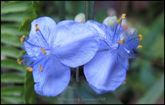 04-16-spiderwort