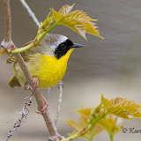 Common Yellowthroat (Karl Egressy)