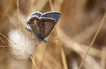 Sydlig blåfugl4, celina.jpg
