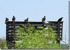 Vultures waiting