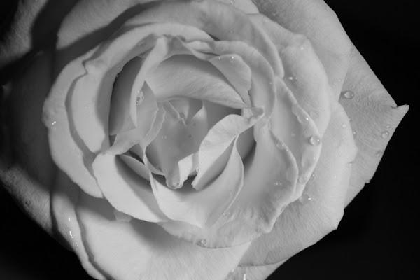 Rosa gialla di smenega