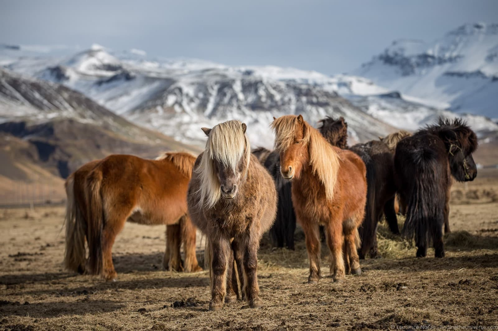 [Icelandic+Horses_by_Laurence+Norah-12%5B3%5D]