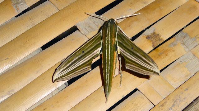 Sphingidae : Macroglossinae : Xylophanes titana (Druce, 1878), mâle. Jardin de l'Hôtel Jalata, Caranavi, 600 m (Yungas, Bolivie), 15 décembre 2014. Photo : Jan-Flindt Christensen