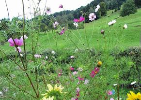 Sonnenblumen CosmeablumenWiese schönes fotoIMG_0706.JPG