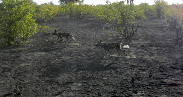 Tuli Block - wild african dogs on the hunt
