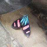 Arctiinae. Bosque Bavaria (Villavicencio, Meta, Colombie), 9 novembre 2015. Photo : C. Thoumyre