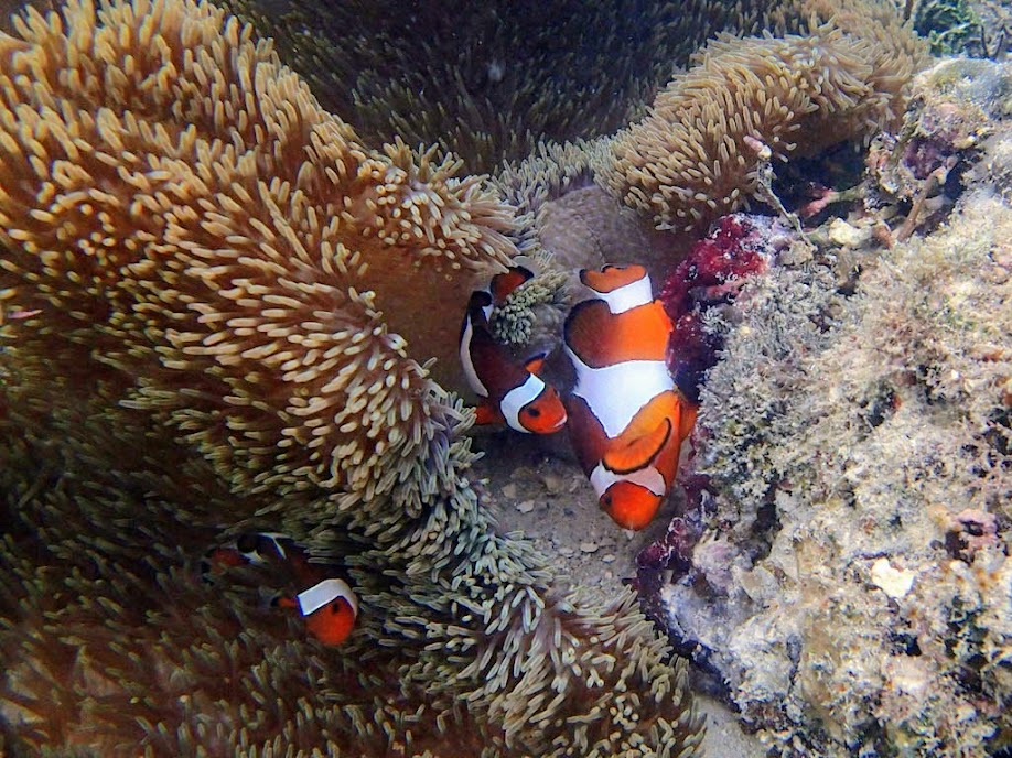 Amphiprion ocellaris (Ocellaris Clownfish) Spawning, Miniloc Island Resort reef, Palawan, Philippines.