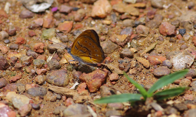 Sevenia amulia CRAMER, 1777, femelle. Ebogo, Cameroun, 8 avril 2012. Photo : J.-M. Gayman