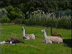 2001.06.09-02-006 lamas