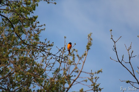 One Oriole