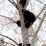 A mother black bear and her four cubs are seen in a tree off U.S. Highway 93 south of Whitefish.  By Lido Vizzutti/Flathead Beacon