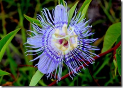 Passion Flower-1
