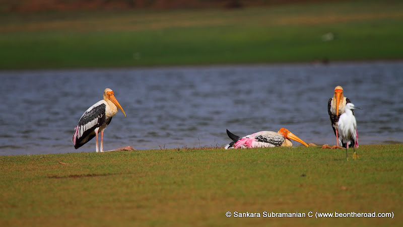 A Painted Stork Family next to the Kabini River