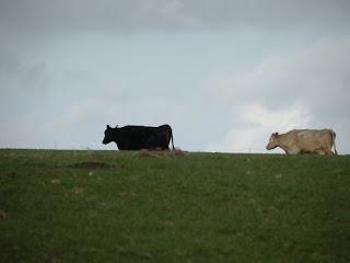 Две коровы на фоне неба и травы