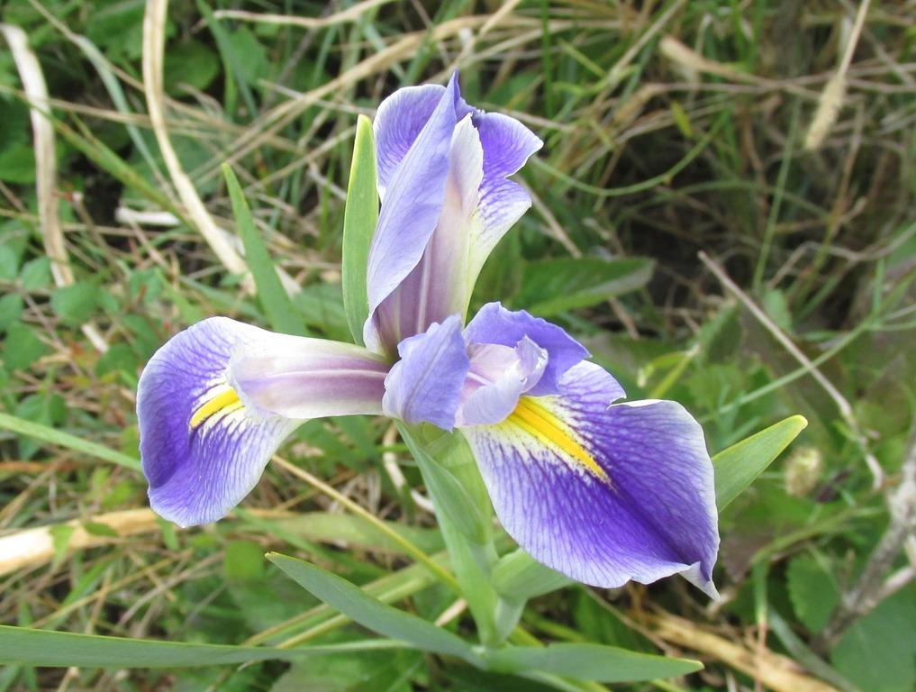 [Blue-Flag-Iris12]