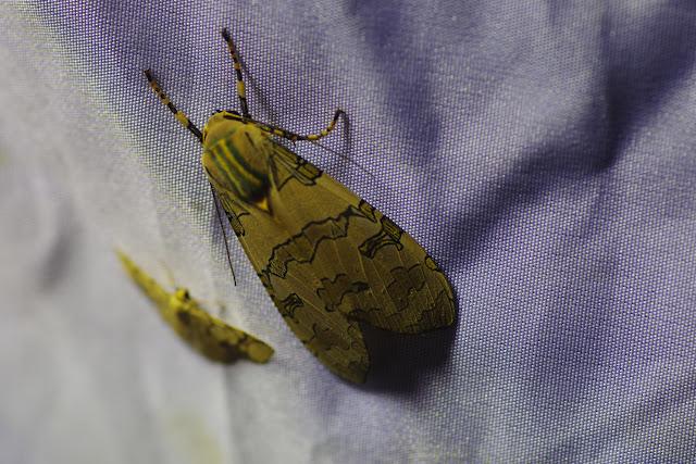 Halysidota orientalis Rothschild, 1909. Santa María en Boyacá, 1120 m (Boyacá, Colombie), 2 novembre 2015. Photo : J.-M. Gayman