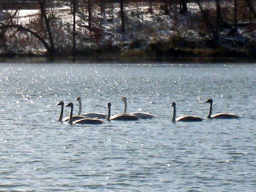 Swans on Little Sugarbush