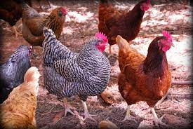 The color of the feathers is gray, black brown, black chicken, blackish white, jali and RIR red.