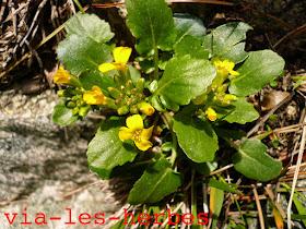 Barbaree des rochers,Barbarea rupicola,Brassicacees 2.jpg