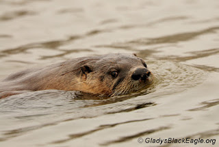 River otter cruising along.