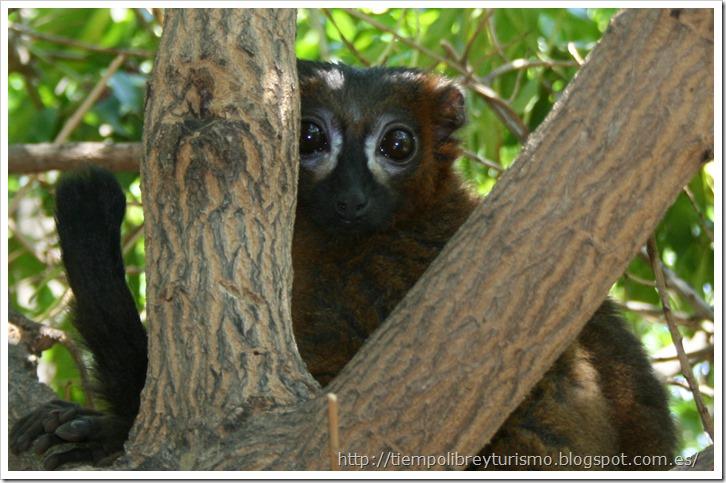 Bioparc-Valencia-Madagascar-14
