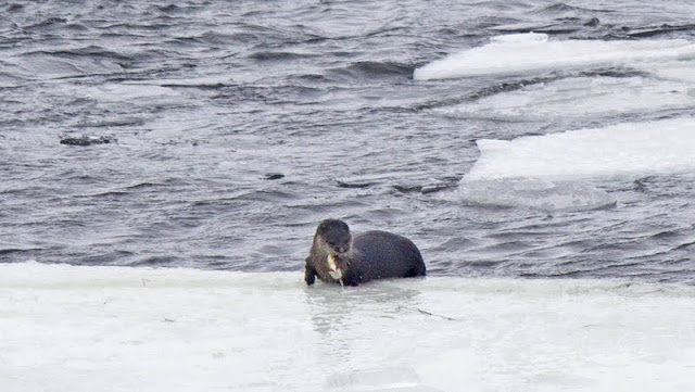 River Otter at Gannon's Narrows, Buckhorn Lake (by Kinsley Hubbs)