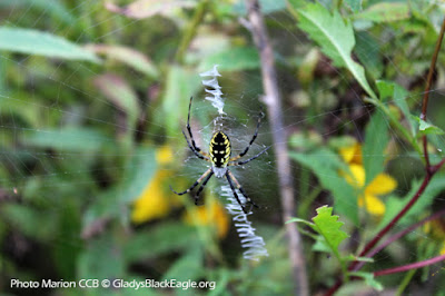 """The orb weaver is sometimes referred to as """"the writing spider"""" due to the zigzag patterning within the web."""