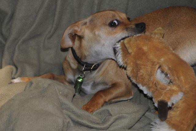 Twinkie Tiny Dog Teacup Chihuahua A Dog Blog Mar 12 2011