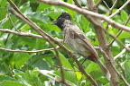 Red vented bulbul - you can see why
