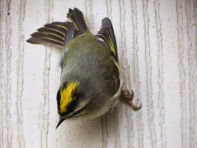 Golden-crowned Kinglet (Gary Atkin)