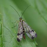 Mecoptera : Panorpidae : Panorpa communis (L., 1758), mâle. Les Hautes-Lisières (Rouvres, 28), 9 juillet 2012. Photo : J.-M. Gayman