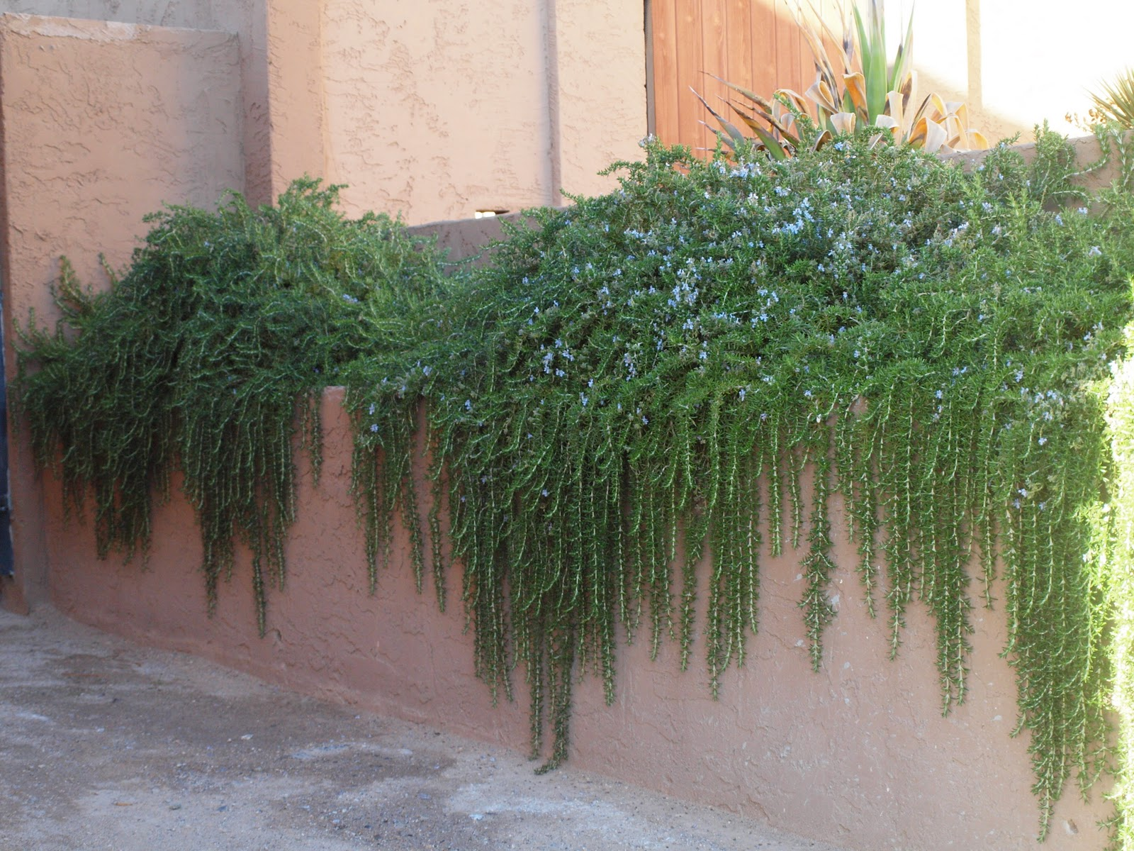 The Sonoran Desert Gardener: Rosemary Trails, Green and Blue