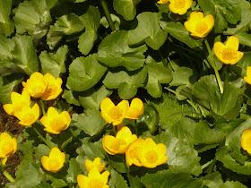 populage Caltha palustris Renonculacees.JPG