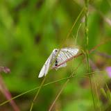 Geometridae : Ennominae : Siona lineata (SCOPOLI, 1763). Hautes-Lisières (Rouvres, 28), 10 juin 2010. Photo : J.-M. Gayman