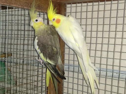 Fancy Birds Chennai - Bird Shop in chennai
