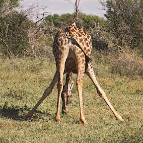Young Giraffe, South Africa