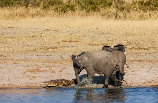 Two young bull African elephants walk around a water hole and confront a Nile crocodile in their pathway in Hwange National Park, Zimbabwe. On 4 May 2016, drought-hit Zimbabwe invited local farmers and private game rangers to buy wild animals as it destocks national game reserves to save fauna from starvation. Photo: Jami Tarris