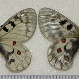 Parnassius (Driopa) clarius EVERSMANN, 1843 = Parnassius ariadne LEDERER 1853 (couple). Aktash, Altaï (Sibérie, Russie). Photo : Pavel Morozov