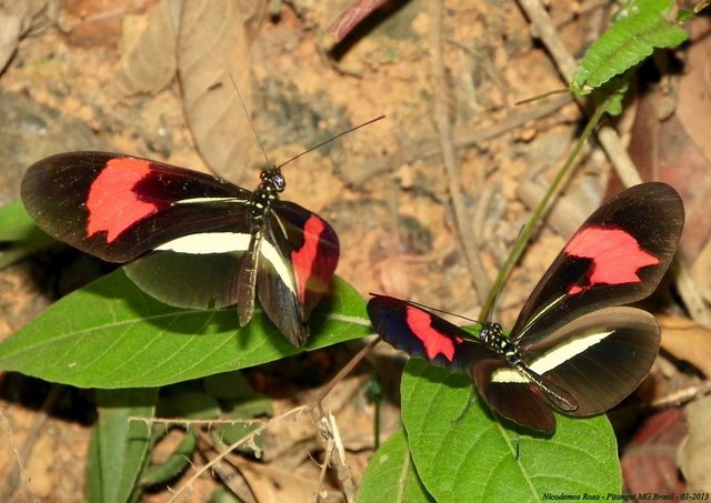 Heliconius erato phyllis (FABRICIUS, 1775). Pitangui (MG, Brésil), 6 janvier 2013. Photo : Nicodemos Rosa