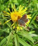 Sortbrun blåfugl3.jpg
