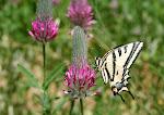 Papilio alexanor.8.jpg