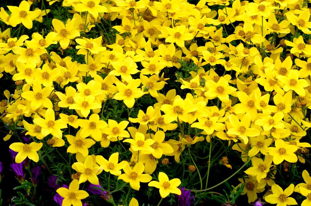 Hoa cúc hoàng ngân