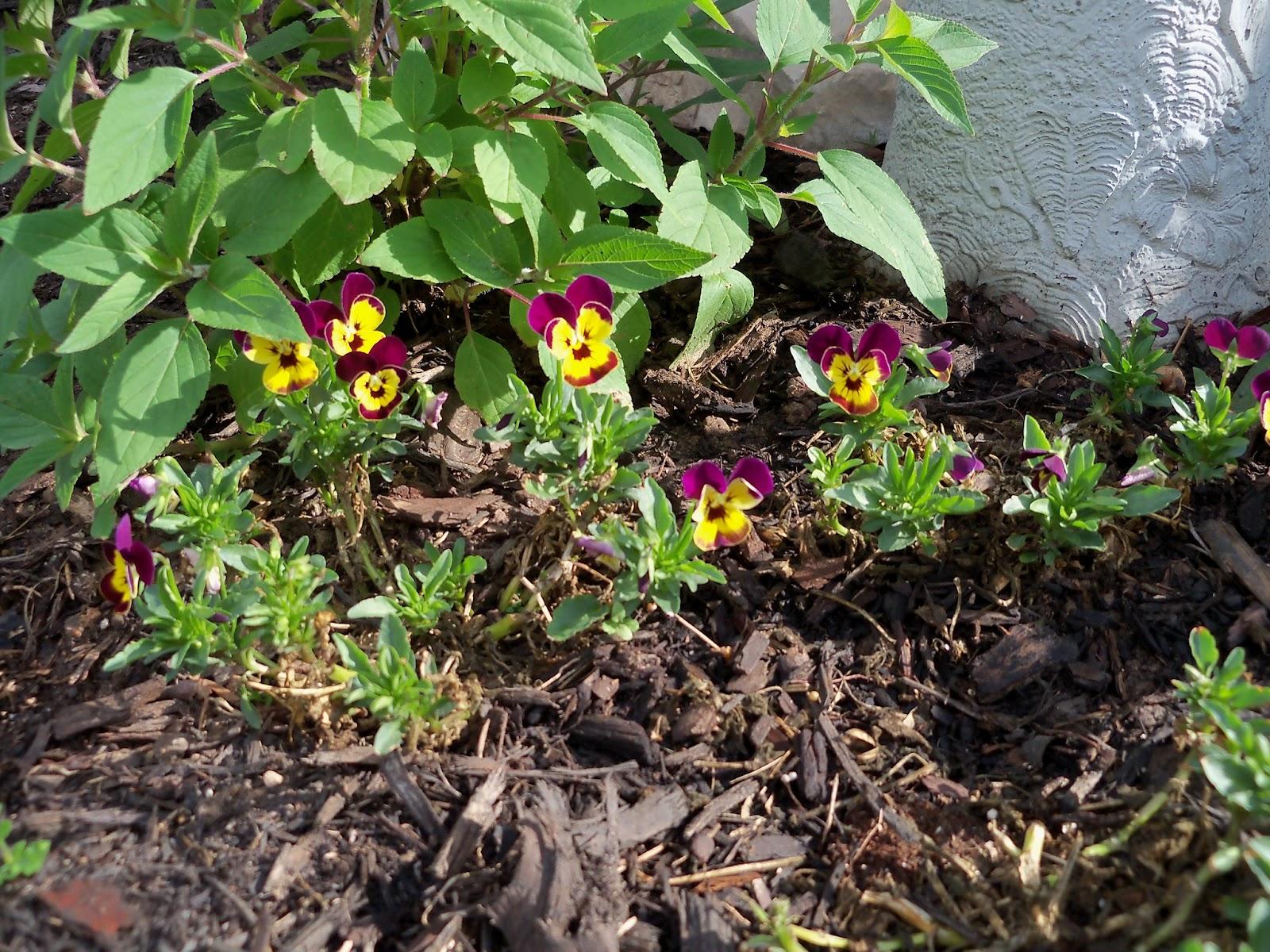 Gardening 2011 - 100_6966.JPG