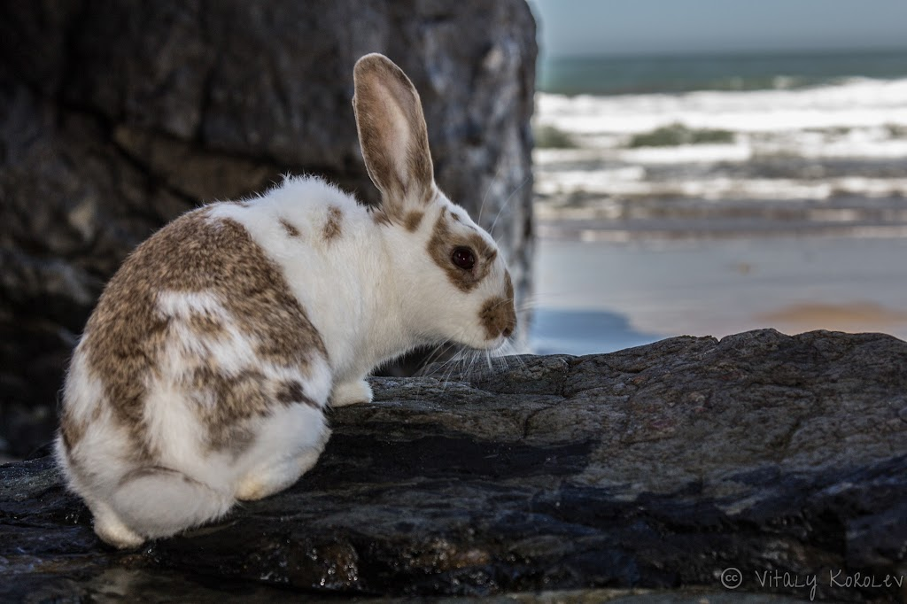 Rabbit on the Beach