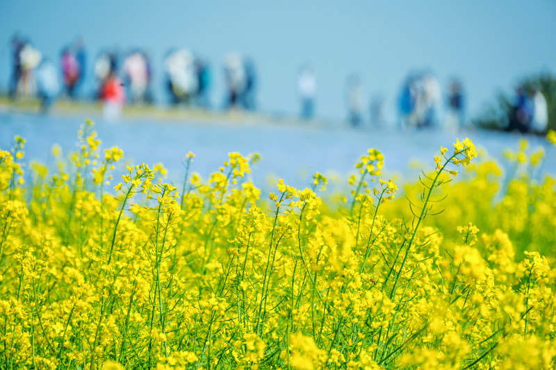 Hitachi Seaside Park rape blossoms photo3