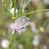 Polyommatus coridon coridon (PODA, 1761), mâle. Aix-en-Provence (13, France), 31 juillet 2014. Photo : J.-M. Gayman