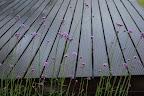 Verbena bloeit altijd uitbundig.
